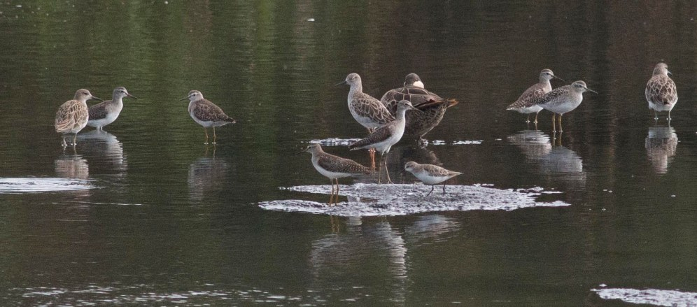 Ruff, Wood Sandpiper, Red-billed Teal (Ryan Ramsamy)