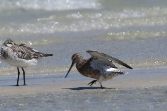 Bar-tailed Godwit in partial breeding plumage and showing underwing