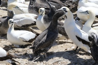 Cape Gannet being fed with angry onlookers