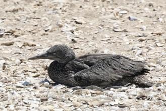 Cape Gannet juvenile - rather lonely