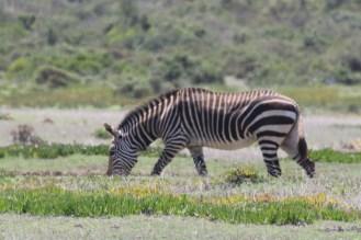 Cape Zebra