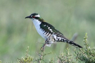 Diederik Cuckoo - adult male