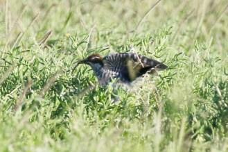 Diederik Cuckoo - juvenile