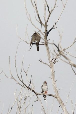 Gabar Goshawks - female above male below.