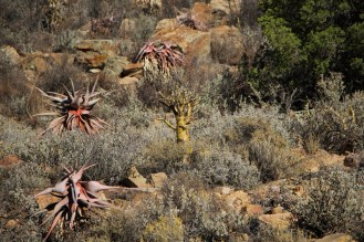 Aloes on rocky hillside