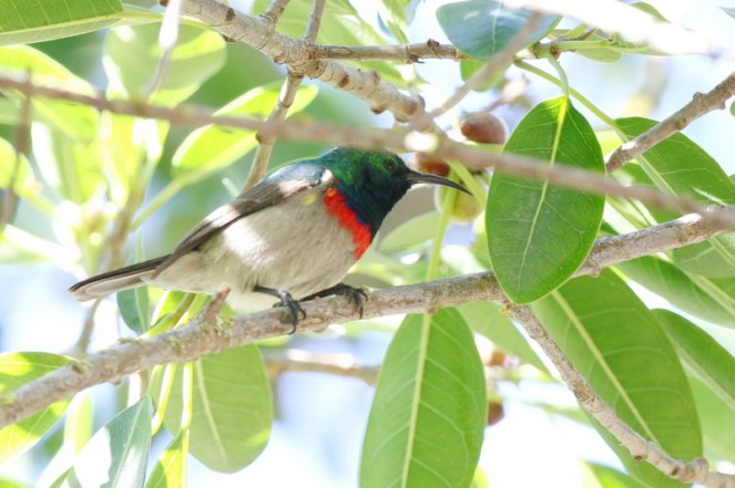 Lesser Double-collared Sunbird