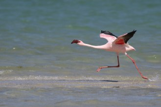 Lesser Flamingo getting into flight mode - faster still