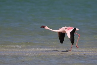 Lesser Flamingo getting into flight mode - strides out