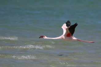 Lesser Flamingo getting into flight mode - away we go.
