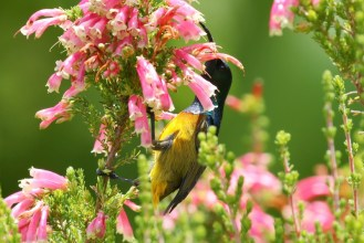 Orange-breasted Sunbird -tailless