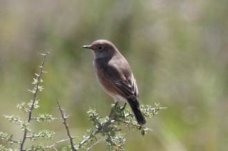 Sickle-winged Chat