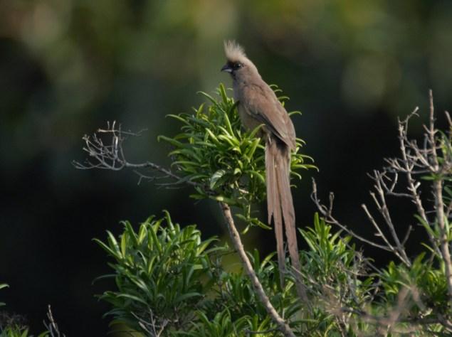 kled Mousebird