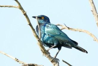 Cape Starling - love the colours