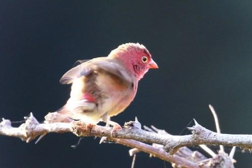 Red-billed Firefinch - male