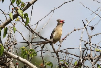Red-faced Mousebird - hanging on precariously