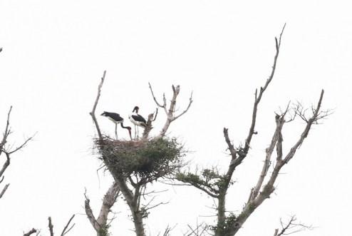 Saddle-billed Storks on nest