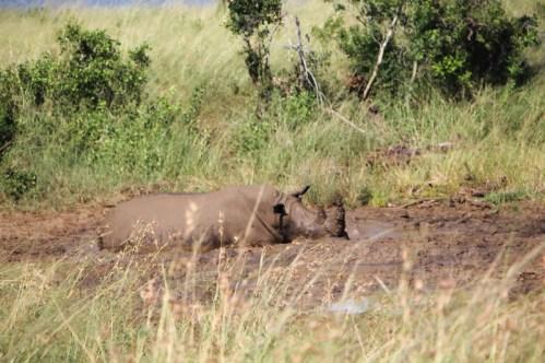 White Rhino having a mud bath