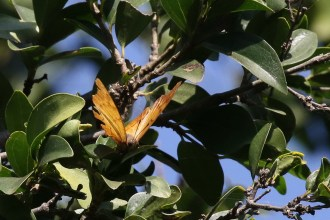 Club-tailed Charaxes