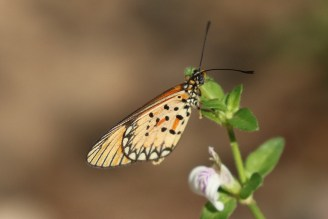 Dancing (Small Orange) Acraea