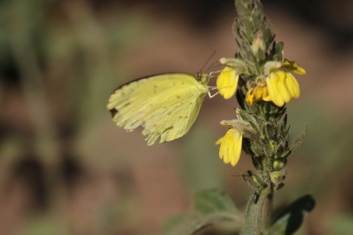 Broad-bordered Grass Yellow