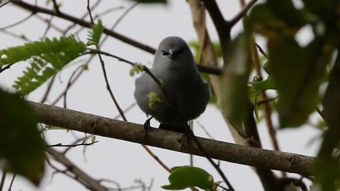 Grey Waxbill