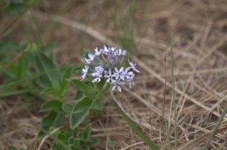 Wild flower - Pentanisia