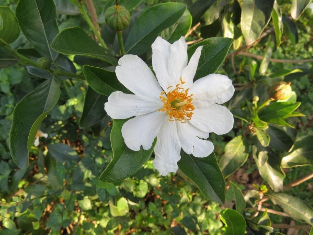 African dog rose (Xylotheca kraussiana