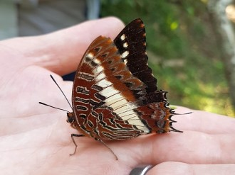 White-barred Charaxes (Emperor)- Dave Rimmer