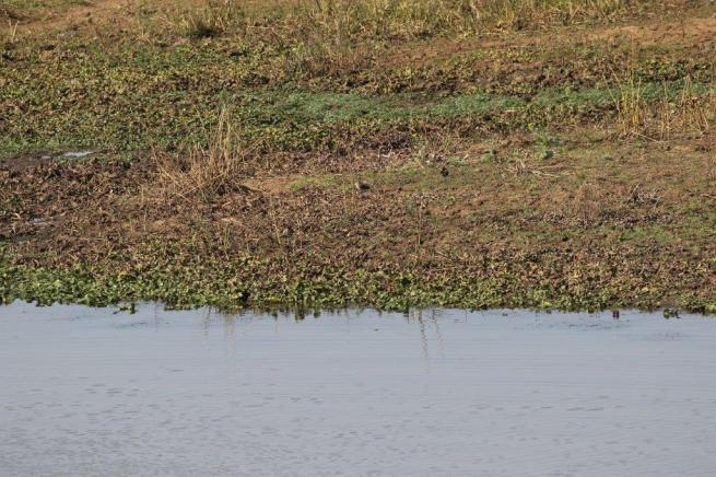 Collared Pratincoles as seen from the Hide