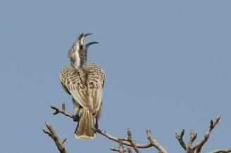 Grey Hornbil calling