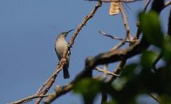 Grey Sunbird - John Bremner
