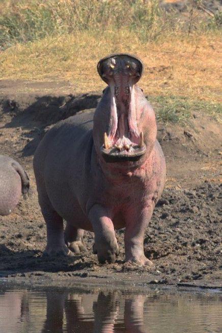 Hippo big yawn