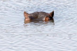 Hippo with his eyes on you