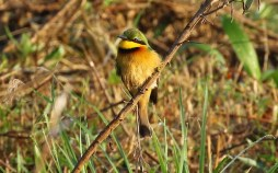 Little Bee-eater Mick Jackson