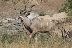 Majestic Kudu