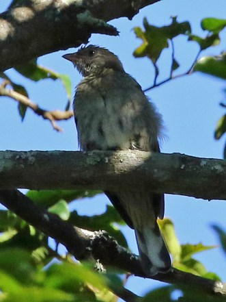 Scaly-throated Honeyguide -Mike Jackson