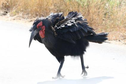 Southern Ground Hornbill - male