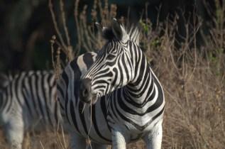 Burchell's Zebra - John Bremner