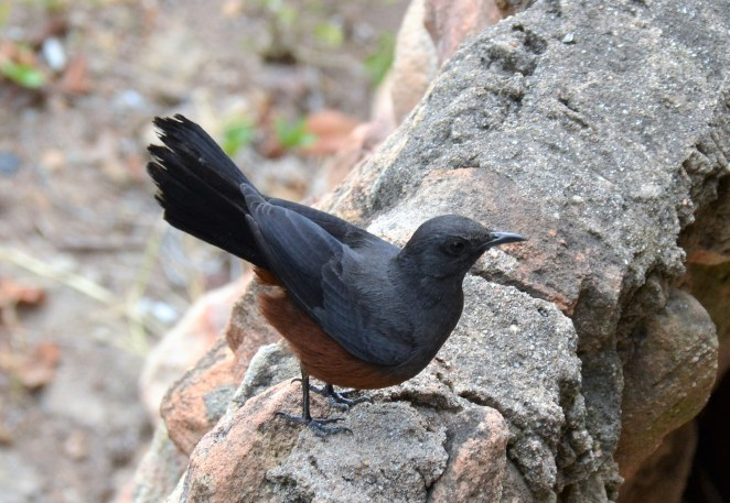 Mocking Cliff Chat