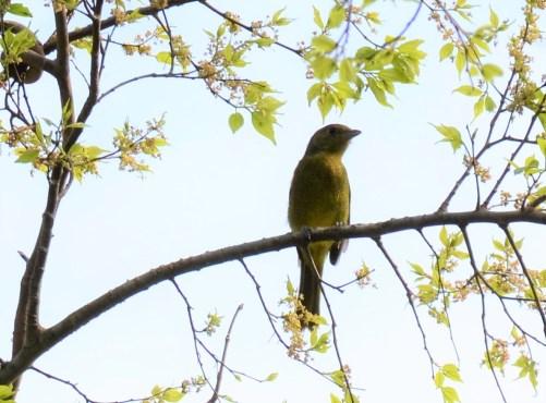 Olive Bush-shrike - Juvenile
