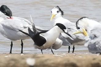Caspian, Sooty and Swift Terns