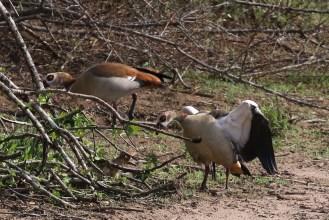 Egyptian Goose letting him know who is boss
