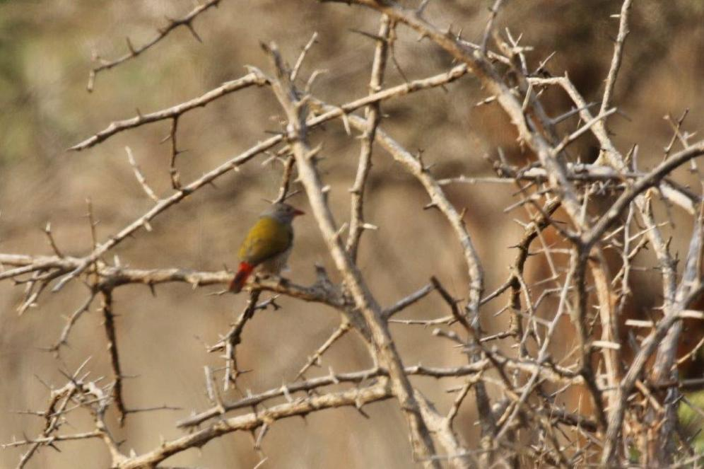 Green-winged Pytilia