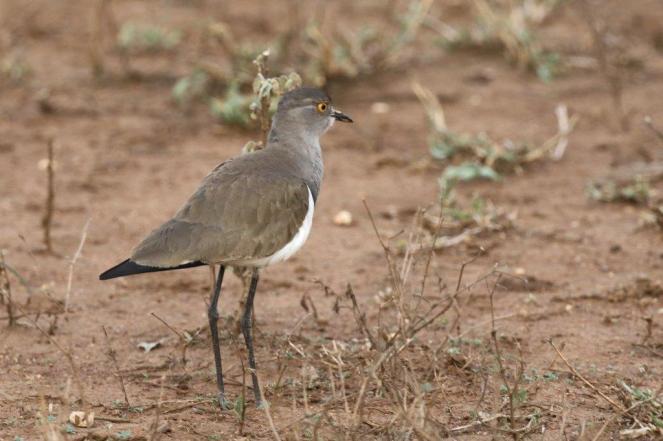 Senegal Lapwing - adult