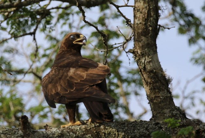 Wahlberg's Eagle, turning a blind eye