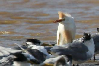 Cattle Egret with bad hair style among the Swift Terns