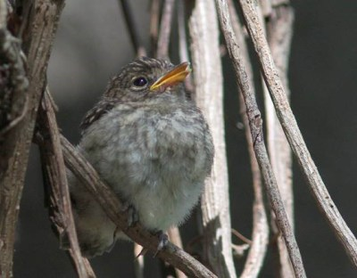 Dusky Flycatcher - juvenile - David Swanepoel