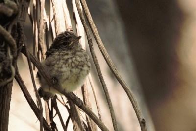 Dusky Flycatcher juvenile - John Bremner