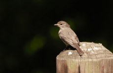 Dusky Flycatcher - John Bremner