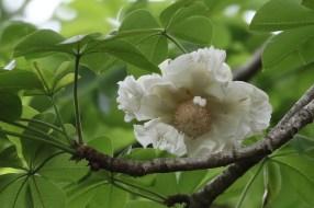 Baobab Flower - Paul Bartho